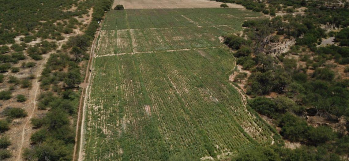 Ejército y Guardia Nacional localizan y destruyen 24 hectáreas de amapola en Trincheras